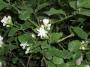 Αγορά Αειθαλή ή φυλλοβόλα αναρριχώμενα φυτά