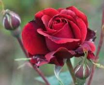 Αγορά Τριανταφυλλιες Θαμνώδει, Αναρριχώμενες, Μινιατούρες, Δενδρώδεις, Μινιατούρες Δενδρώδεις