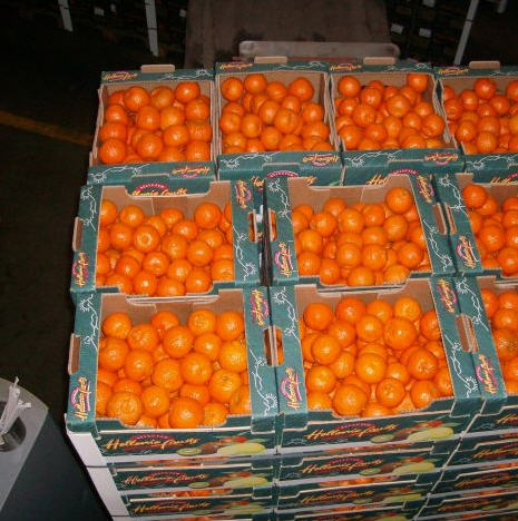 Clementines for export