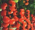Αγορά Ντομάτες καλής ποιότητας