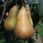 Αγορά Ποικιλίες Δέντρων Αχλαδιάς