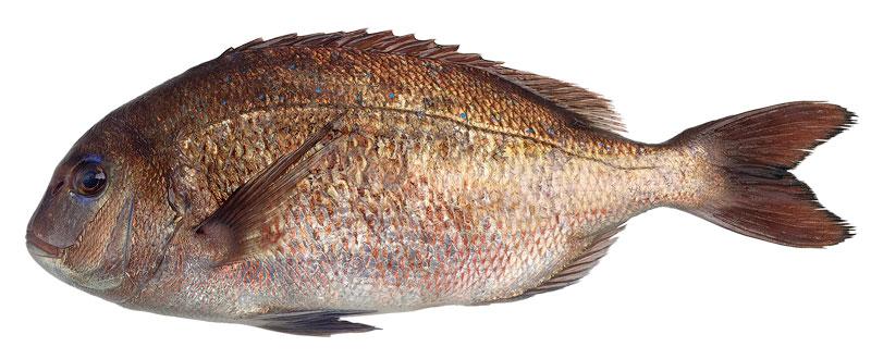 Αγορά Ψαρι Φαγκρί εξαιρετικης ποιότητας