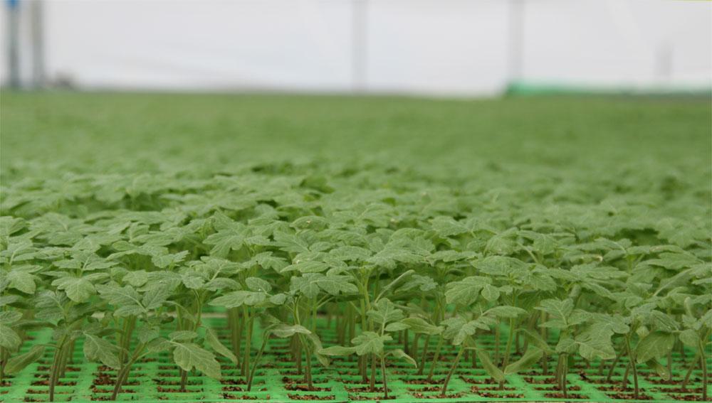 Αγορά Σπορόφυτα Ντομάτας