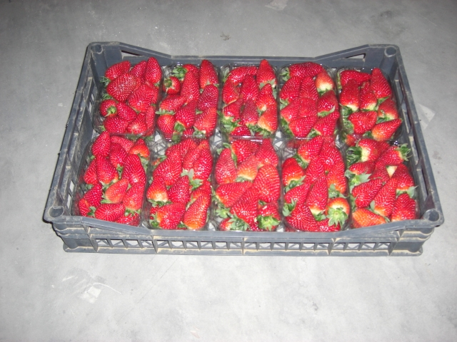 Strawberries with quality products at competitive prices and the widening of export destinations