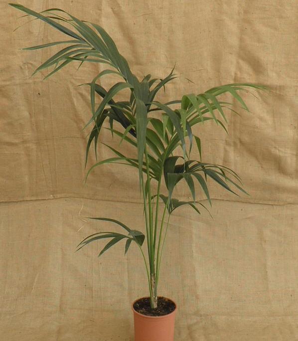 Αγορά Kentia palm 1 plant