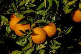 Αγορά Πορτοκάλια για εξαγωγή