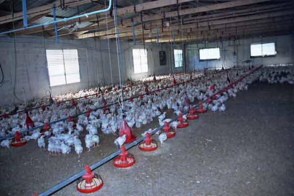 Αγορά Κοτόπουλα 2 μηνών