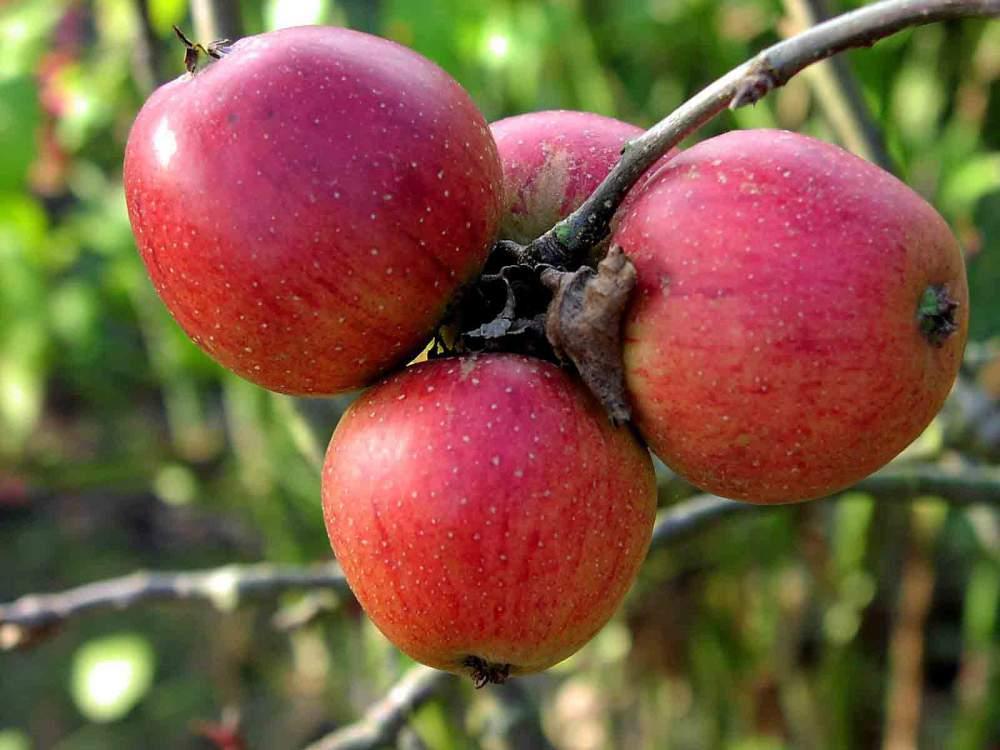 Αγορά Μήλα άριστης ποιότητας σε μια πολύ ανταγωνιστική τιμή
