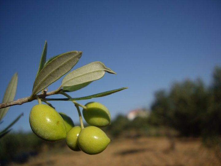 Αγορά Πράσινες ελιές τσακιστές (Ναυπλίου) και Ελιές Καλαμών