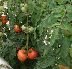 Παραγωγή Ντομάτας