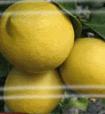 Ελληνικά λεμόνια καλής ποιοτητάς