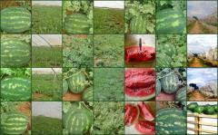Greek watermelons barrels