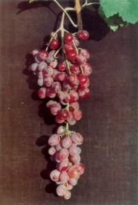 Ποικιλία Φράουλα