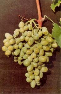 Λευκή ποικιλία Calmeria