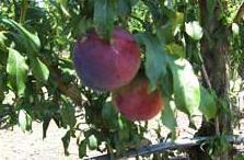 Δαμάσκηνα, μήλα, ροδάκινα, κεράσια,