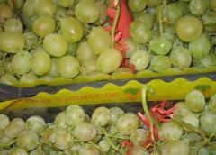 Grape of kishmish varieties