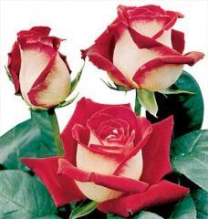 Θαμνώδεις τριανταφυλλιές με μεγάλα τριαντάφυλλα