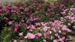 Παλιές και Ιστορικές ποικιλίες Τριανταφυλλιάς