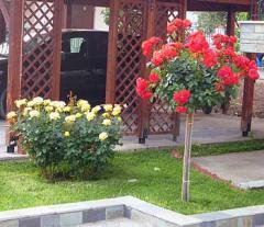 Δενδρώδεις Τριανταφυλλιές (κορμός 1μ.)
