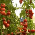 Σπόροι ντομάτας καλής ποιότητας,