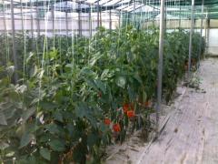 Βιολογικες πιπεριες τυπου κερατο
