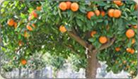Πορτοκάλια όλο το χρόνο