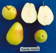 Αχλαδιά Santa Maria