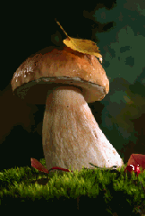 Βολίτες ή boletus ή porcini cepes