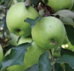 Μήλα GRANNY SMITH
