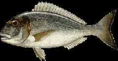 Ψαρι Τσιπούρα καλης ποιότητας από ελληνικό