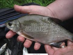 Sea ​​bream