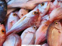 Sea perch