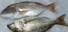 Fresh seafood / Fish formulations &