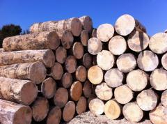 Κορμοί πεύκης από τα ονομαστά δάση της βόρειας