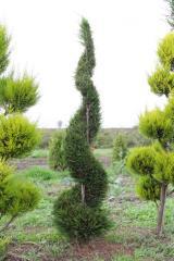 Tree saplings