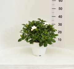 Indoor fruit plants