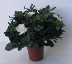 Γαρδένιες (Gardenia jasminoides)