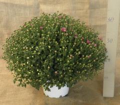 Chrysanthemum coronarium 19/40