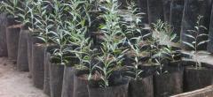 Φυτά Goji Berry, Αρκαδιας