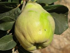 Κυδώνια, quinces