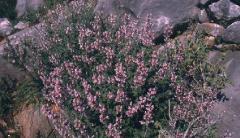 Φασκόμηλο φυτό