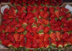 Φράουλες Βεντάνα από τον ελληνικό παραγωγό
