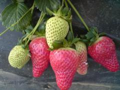 Φράουλες Καντόνγκα από τον ελληνικό παραγωγό