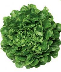 Σαλάτα πλατύφυλλη κόκκινη και πράσινη Salanova