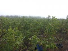 Φυτα καρυδιας chandler