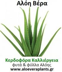 Φυτά Αλόη Βερά