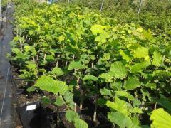 Πιστοποιημένα φυτά φουντουκιάς