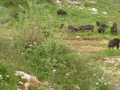 Εκτροφη  πιστοποιημενου  αυτοχθονα  μαυρου χοιρου σπανια  ελληνικης φυλης .