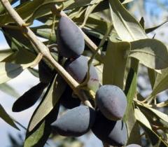 Ελιά Καλαμών από ελληνικό παραγωγό