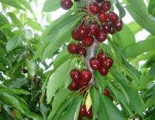 Δενδρύλλια κερασιάς CAB 6P(Prunus cerasus)